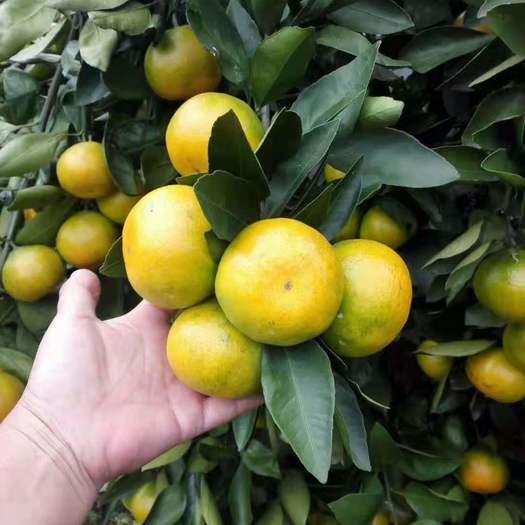 蜜桔  特早蜜橘  产地直销  薄皮多汁 无籽 无渣 入口即化
