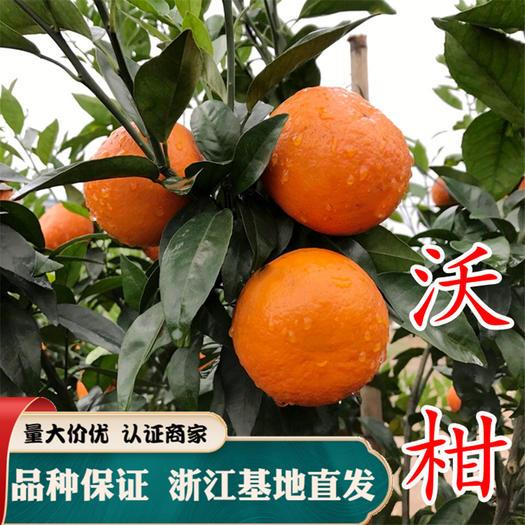沃柑苗供应,优质柑橘树苗批发,品种纯度有保障!提供种植技术