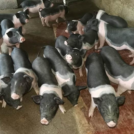 花猪 广西陆川猪母猪种猪,全国发货