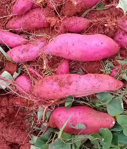 红薯  云南高原优质蜜薯产地直供,需要的老板联系
