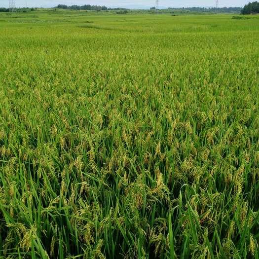 杂交稻  自己家合作社种的2021年新水稻