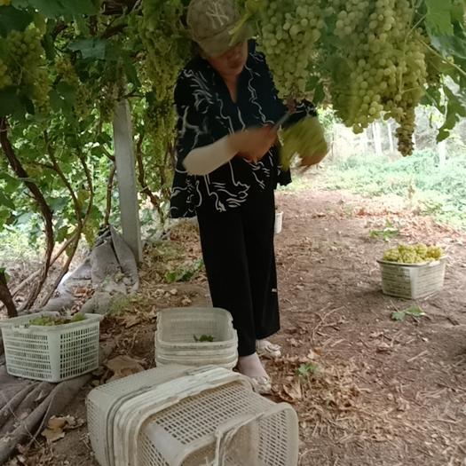 哪个老板来承包葡萄果园,几百亩,上千亩都可以
