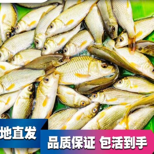 鲤鱼苗  全国各地送货上门,不要运费,消毒下塘,技术支持