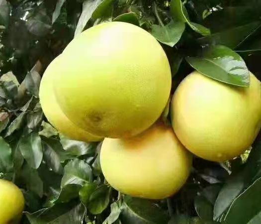 红/白蜜柚 柚子 果大皮薄水分充足味甜 果园直销