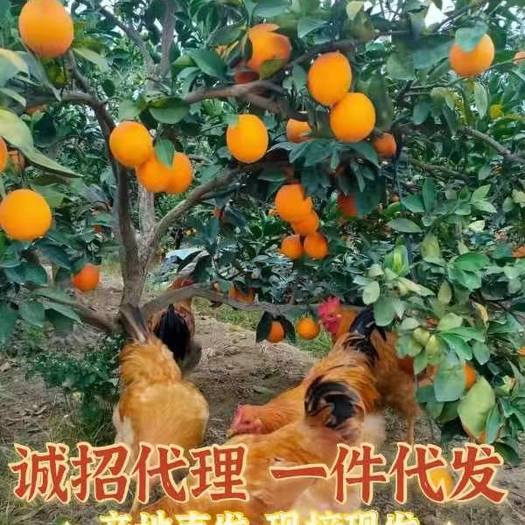盖了防虫网的赣南寻乌脐橙更健康!