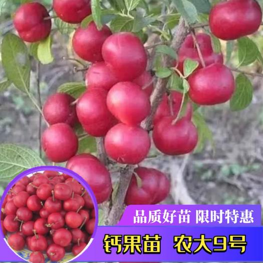 鈣果苗  產地直銷中華鈣果 新品 農8 農9全國保濕包郵 下單備注