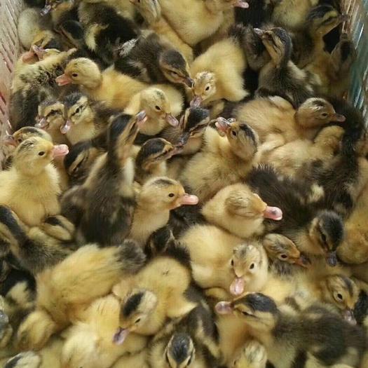 杂交鸭 6-7斤 统货 半圈养半散养