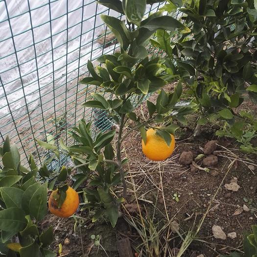 耙耙柑桔苗  品种纯正根系发达,保成活率,快递包邮,带果保湿发货,量大从优