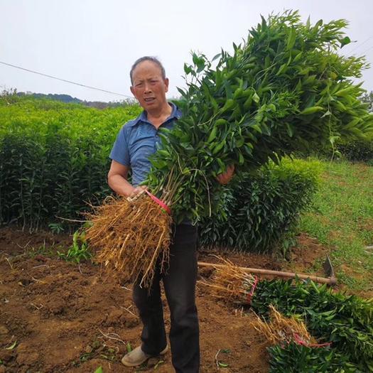 无核沃柑苗  基地直供,现挖现发,品种纯正,根系发达,保成活包品种快递包邮