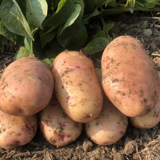 黄心土豆  精品黄心中号土豆新鲜看得见