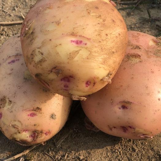 黄心土豆  精品高质量高颜值出口首选