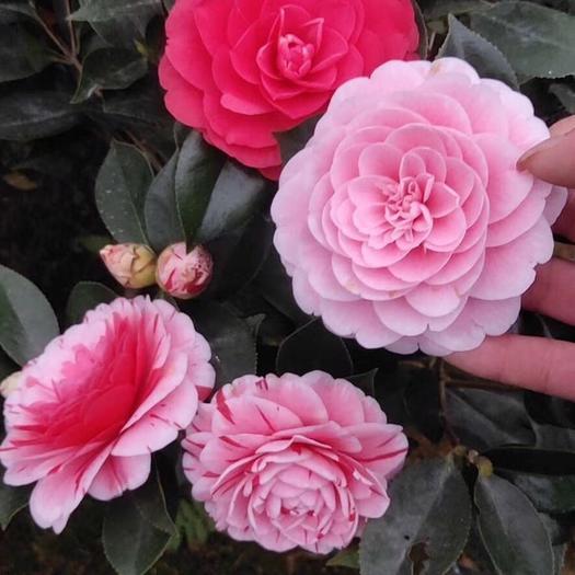 五色赤丹茶花 高40公分多分枝一树多色茶花盆栽带花发货