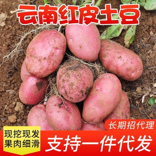红土豆  新鲜小土豆农家自种蔬菜云南红皮黄皮黄心土豆马铃薯洋芋9斤