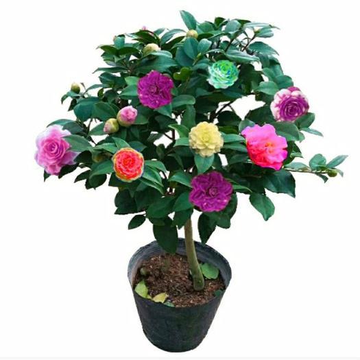 五色赤丹  七彩茶花苗山茶花苗当年开花四季绿植物十八学士十色赤丹