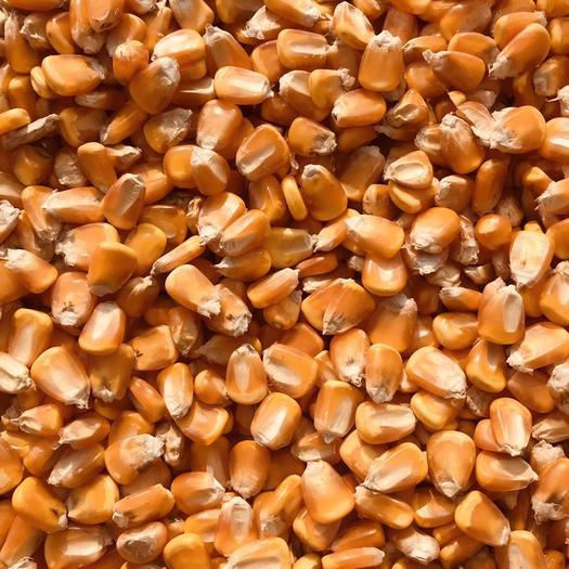 玉米干粮  干粮 玉米粒 饲料玉米