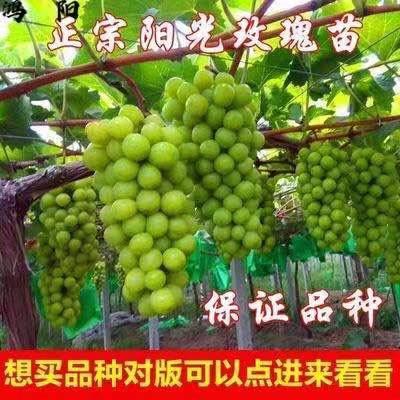 阳光玫瑰葡萄苗 日本香印晴王,甜度高,耐运输,规模种植