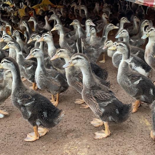 杂交鸭  斤鸭,童鸭,青头鸭,,中鸭,脱温鸭苗
