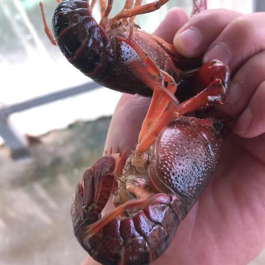 小龙虾  我们不可能做好每一次发货,但是我们一直在努力做好每一次,诚信