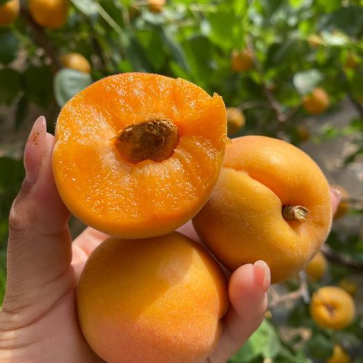 金太阳杏  【基地直发水果】陕西金太阳大黄杏,青杏,酸爽可口,一件代发