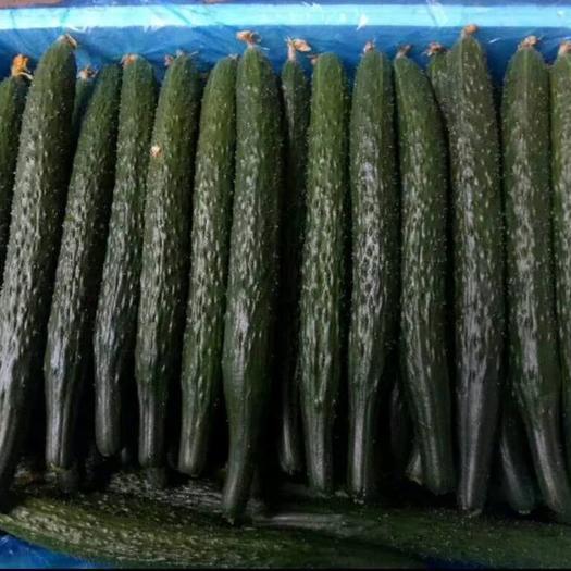 刺黄瓜  河南万亩温室大棚黄瓜基地 干花密刺 黑条清瓤 大量发货