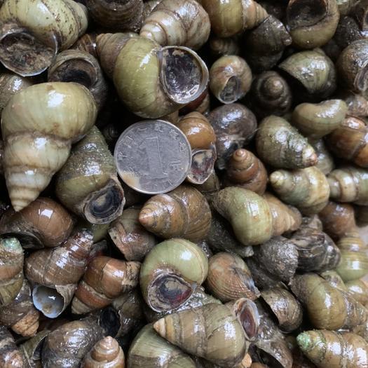 螺蛳  湖北洪湖市薄壳淡水螺 一手货源