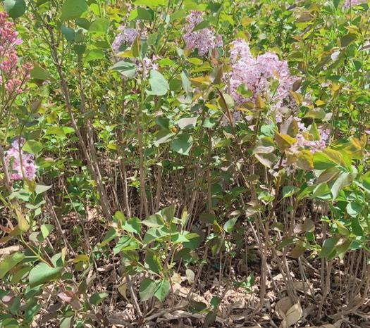 紫丁香  丁香花。綠化。庭院都可以用