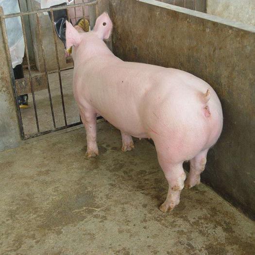 太湖豬  買母豬送公豬 一窩產仔20頭以上,保證15天成活率
