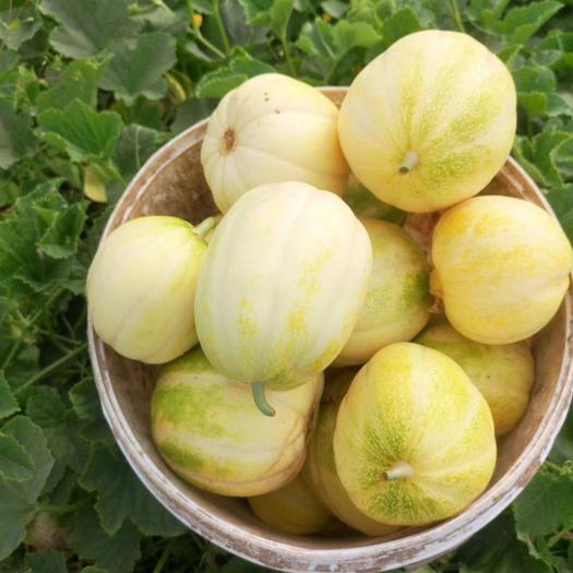 金妃甜瓜 東北特產甜香瓜水果新鮮孕婦應季水果甜瓜香瓜脆瓜蜜瓜整箱批發