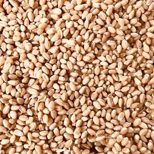 白麦  大量出售2021年新小麦 水分13以下 容重790以上
