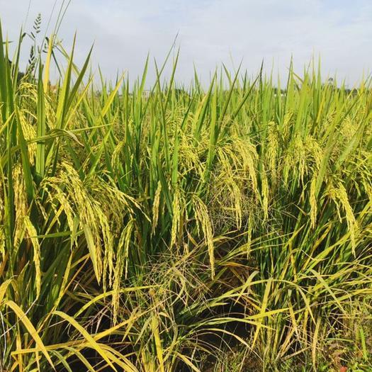 秈稻谷  早糙新稻 秈稻,