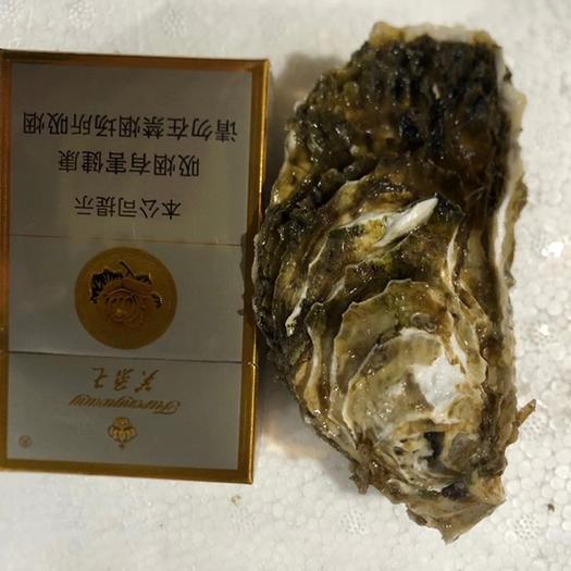 珍珠蚝  福建牡蛎一元烧烤生蚝 半壳 带壳自助汫洲全国直达可发场地直供