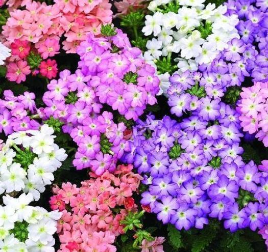 加拿大美女櫻種子,種子,顏色艷麗,姿態優雅