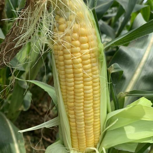 橫縣玉米之鄉的甜玉米