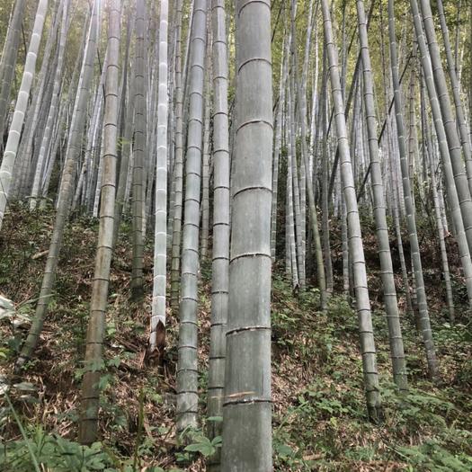 正宗毛竹,肉體肥碩、有韌性、顏色好,五年以上的原生態。