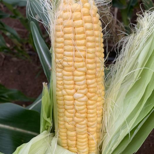 甜玉米,量大從優,歡迎全國各地老板前來采購