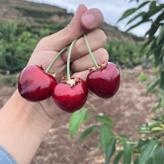 櫻桃 甘肅天水產 綠色有機 含糖量高
