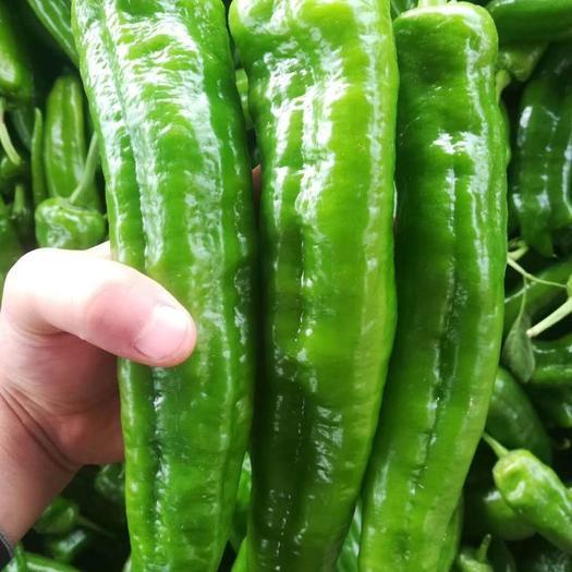 青泡椒  河南夏邑万亩辣椒大量上市 产地发货 品种全 商超电商市场优选