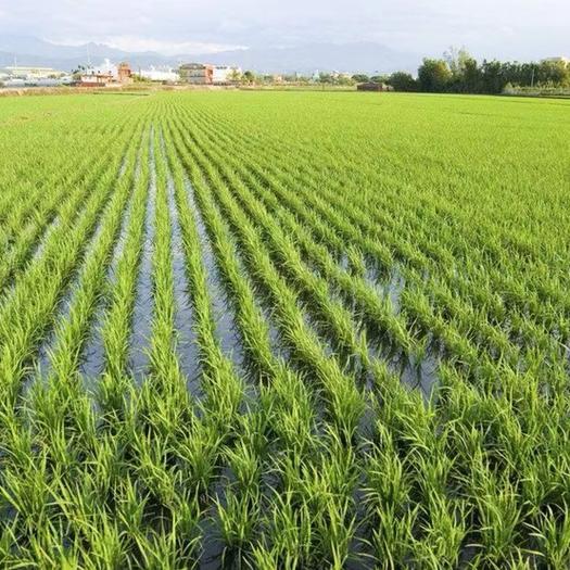 杂交稻  京优534品种、优良杂交水稻中/晚稻大量供应陈老板