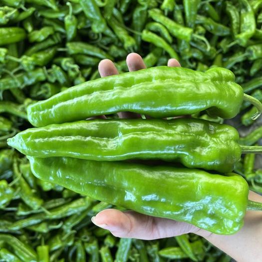 薄皮椒  河南万亩301辣椒 品类齐全 产地发货 电商商超市场优选