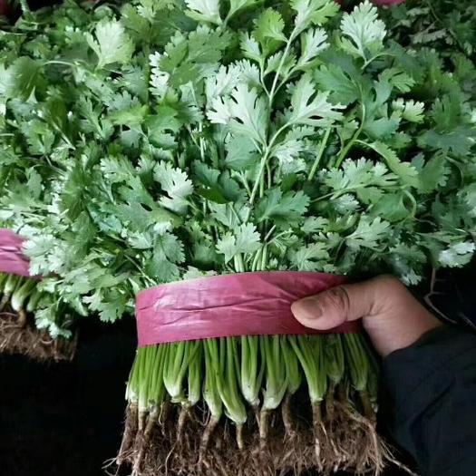 香菜,优质大叶香菜,产地直发,量大从优!