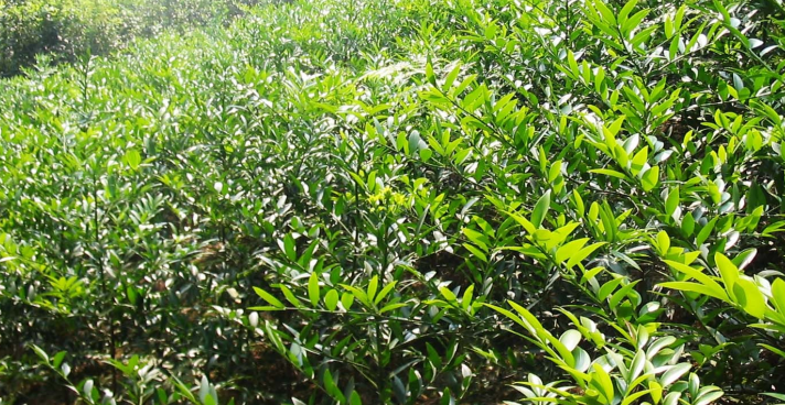 竹柏价格多少钱一棵?竹柏的养殖方法及注意事项