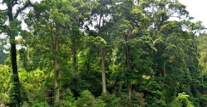 楠木價格多少錢一棵?金絲楠木和普通楠木的區別在哪?