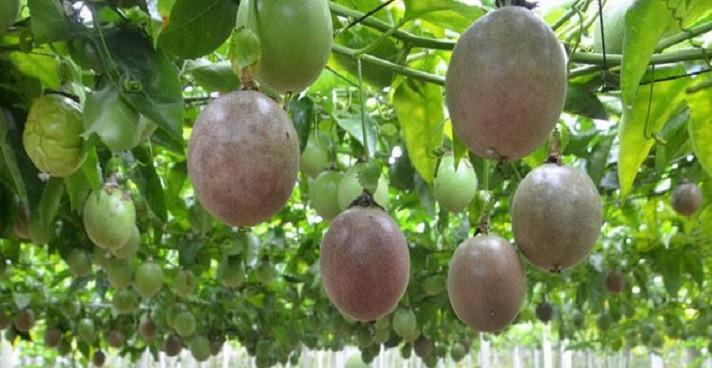 百香果苗價格貴嗎?要多少錢一株?百香果苗木有哪些繁育方式?