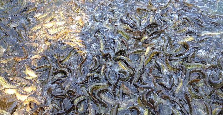 泥鰍的養殖前景如何?泥鰍養殖有哪些優勢?