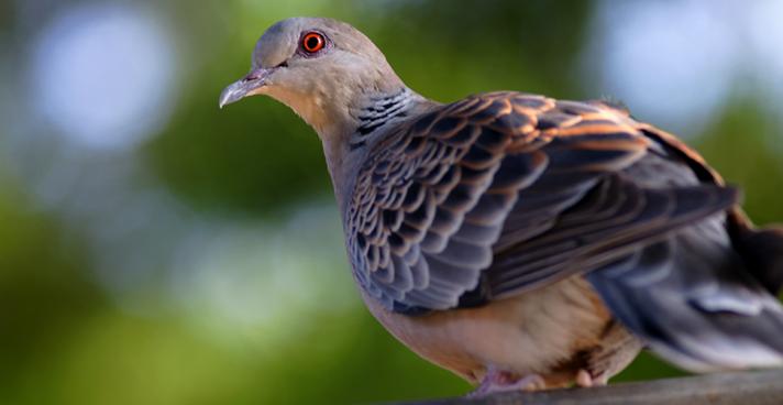 斑鳩可以人工養殖嗎?養殖前景如何?養殖斑鳩需要辦理哪些手續?