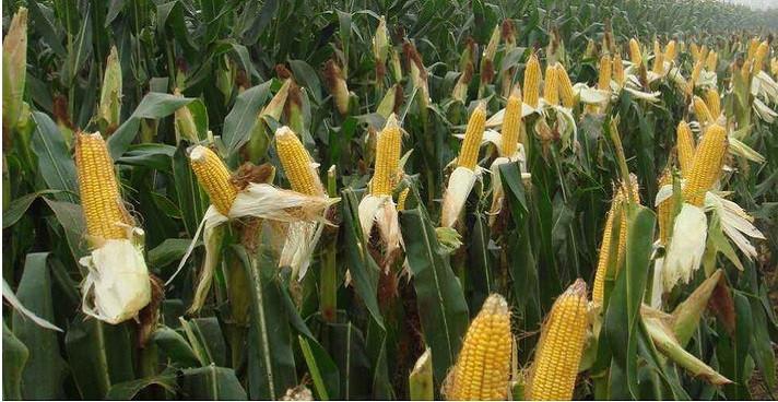 當前玉米價格多少錢一斤?2019全國最新玉米價格行情分析