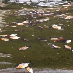 魚苗,白鯧,生長速度快